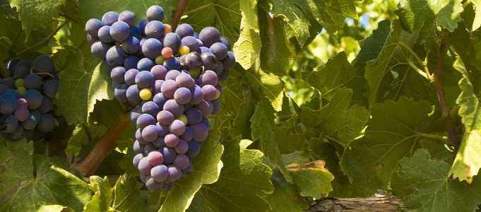 Picture of grapes